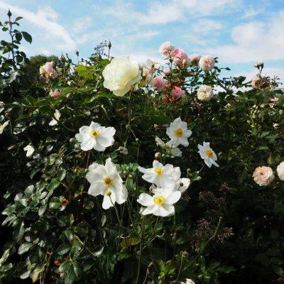 Rosen und Herbstanemonen im Ippenburger Rosarium