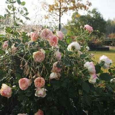 Rosenblüte am frühen Morgen - Rosarium Schloß Ippenburg