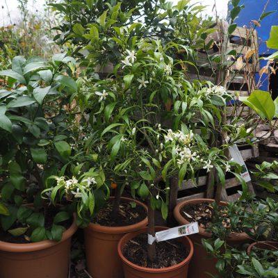 Zitruspflanzen in Blüte