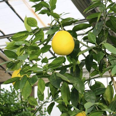 Citrus paradisi - Citrus sinensis
