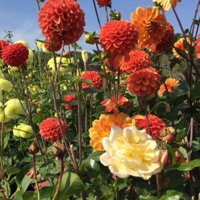 Dahlien und Rosen im herbstlichen Rosarium